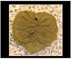 Lotus Leaf Stepping Stone